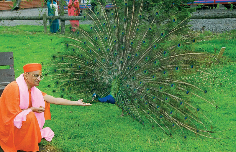 His Holiness Acharya Swamishree feeding grain to peacocks, the national bird of India