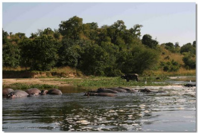 Hippos cooling themselves in the river