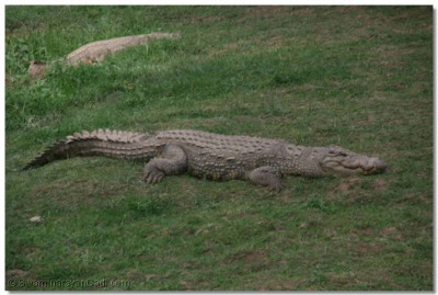 Crocodile basking in the sun