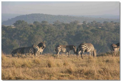 Zebras grazing as the sun rises