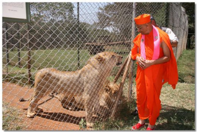 Acharya Swamishree blesses the king of the jungle