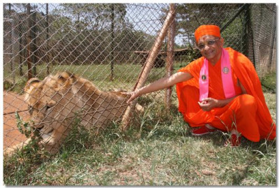 Acharya Swamishree stroking a lion as it enjoys the warmth of His darshan