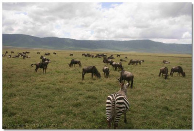 A herd of wildebeests grazing as the group enjoys a photo session