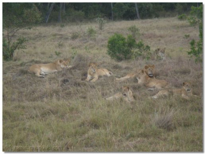 A pride of lions resting after a meal