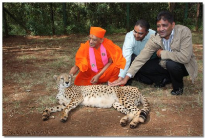 The cheetah enjoys the tender touch of Acharya Swamishree