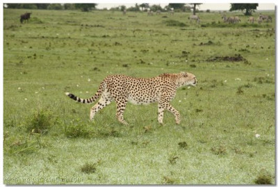 A cheetah roams around in the park