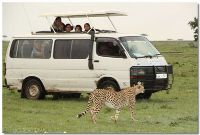 Game watchers enjoy a close look of the cheetah