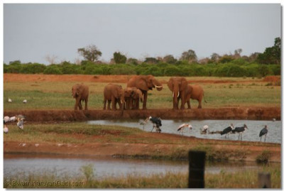 A herd of elephants come for water at a pond