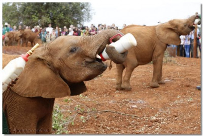 Elephants having their specially formulated milk.