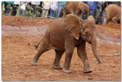 The baby elephant arrive to be fed.