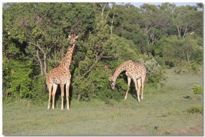 Giraffes at the game reserve