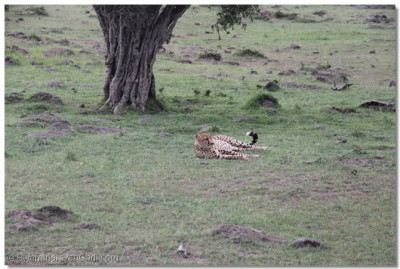 A cheetah at the game reserve