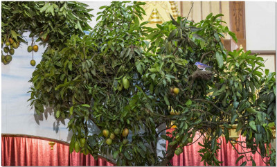 Fresh mango tress and plantation used for decoration