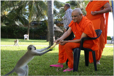 Heartedly Acharya Swamishree gives prasad to the monkey