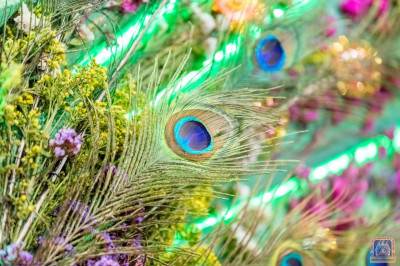 Peacock feathers used for the peacock theme hindolo