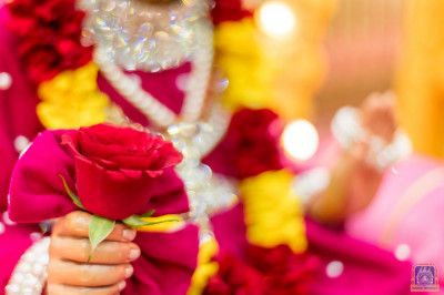 Jeevanpran Shree Abji Bapashree adorns a beautiful rose