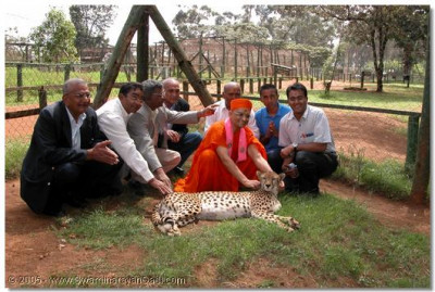 HDH Acharya Swamishree and devotees stroking a cheetah at Nairobi's National Park