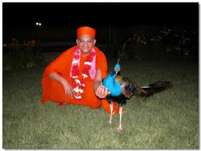A lucky peacock is blessed by Acharya Swamishree