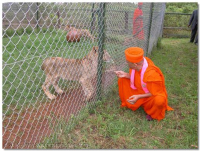 Acharya Swamishree giving darshan to a young lion