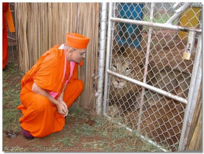 Acharya Swamishree giving darshan to a lion