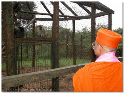 Monkeys also have the opportunity to do darshan of Acharya Swamishree