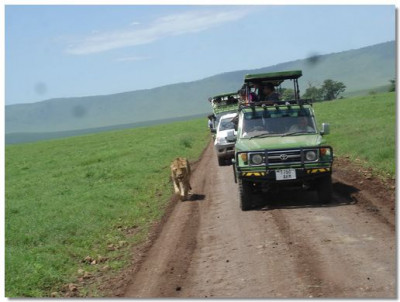 A lion approaches close to the vehicles