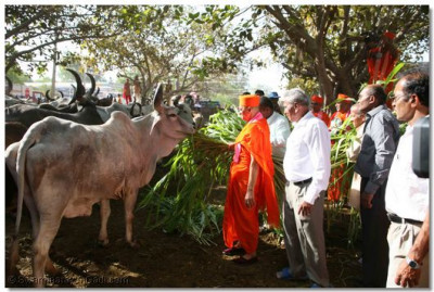 Acharya Swamishree visits the village cattle shelter and donates fresh fodder for the village animals