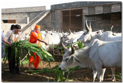 Acharya Swamishree feeds the cows