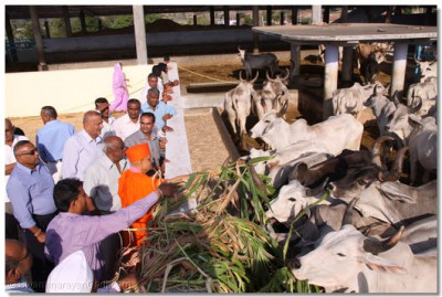 Acharya Swamishree commences the distribution of fodder