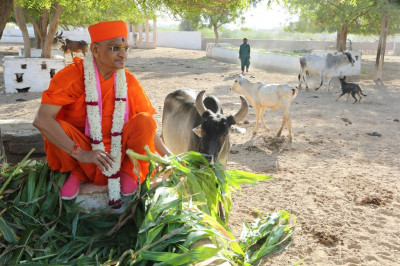 His Divine Holiness Acharya Swamishree feeds fresh shoots to the farm animals