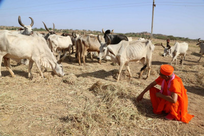 His Divine Holiness Acharya Swamishree feeds hay to the cattle