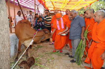 Acharya Swamishree feeds the cattle