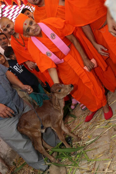 His Divine Holiness Acharya Swamishree blesses the young calf