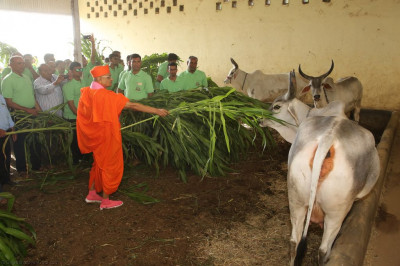 His Divine Holiness Acharya Swamishree feeds green shoots to the cattle
