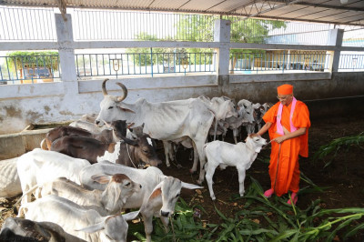 His Divine Holiness Acharya Swamishree feeds green shoots to the calves