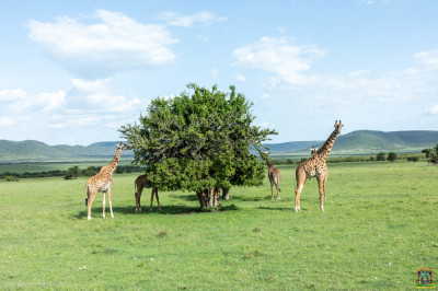 Giraffes spotted during the game drive