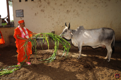 His Divine Holiness Acharya Swamishree feeds the cattle