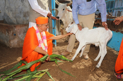 His Divine Holiness Acharya Swamishree feeds the young cattle