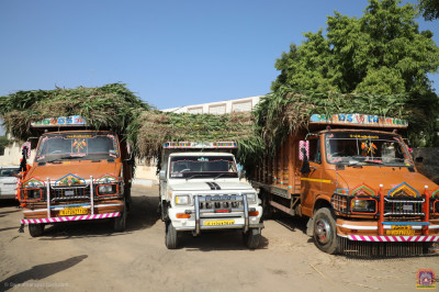Trucks of fodder donated by Maninagar Shree Swaminarayan Gadi Sansthan arrive