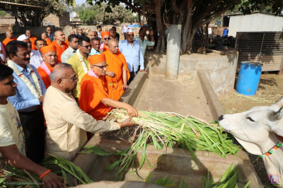 His Divine Holiness Acharya Swamishree Maharaj feeds the cattle