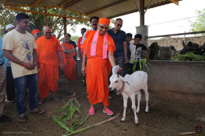 His Divine Holiness Acharya Swamishree Maharaj blesses the very young animals
